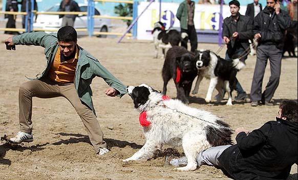 عکس های جالب از جشنواره سگ در اصفهان | عکس های زیباترین سگ های ایرانی | عکس های گرانقیمت ترین سگ های ایران | عکس های جشنواره زیباترین سگ ها در اصفهان | عکس | عکس های سگ های خانگی | جشنواره سگ در اصفهان